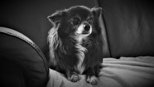 Pourquoi acheter une tondeuse pour chien ?